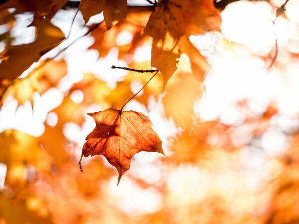 amber-leaf-background-music
